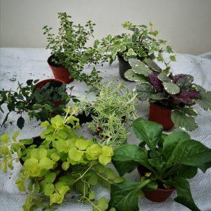 Patio & Basket Plants